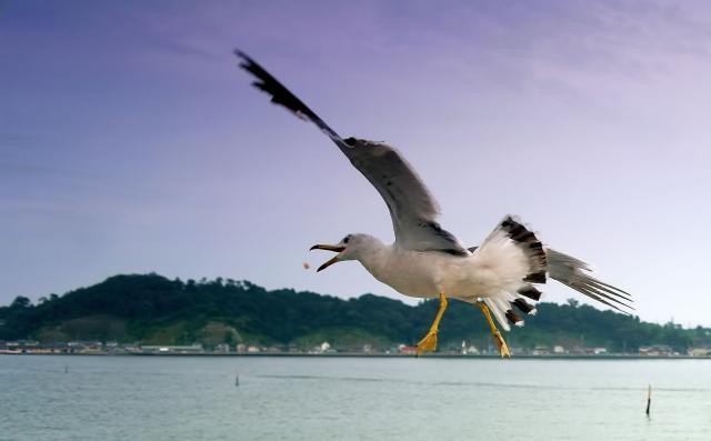 Racek v Matsushimském zálivu