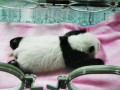 Měsíční panda