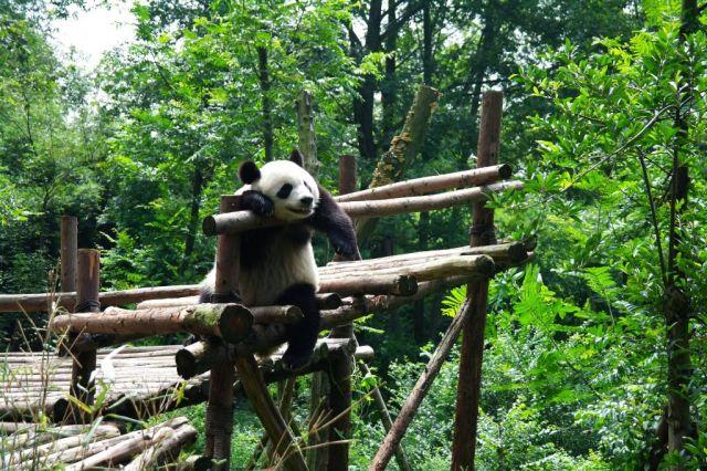 Centrum pro chov pand na předměst�  Chengdu